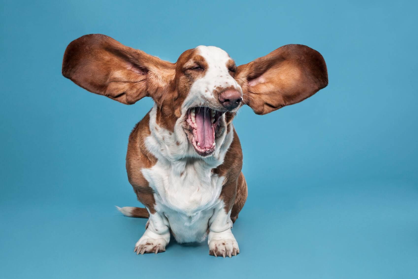 Comment gerer les aboiements votre chien | Pratique.fr