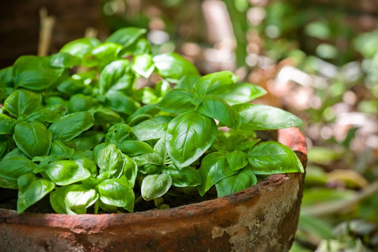 Comment Planter Du Basilic comment rendre le basilic plus parfumé grâce à l'ia