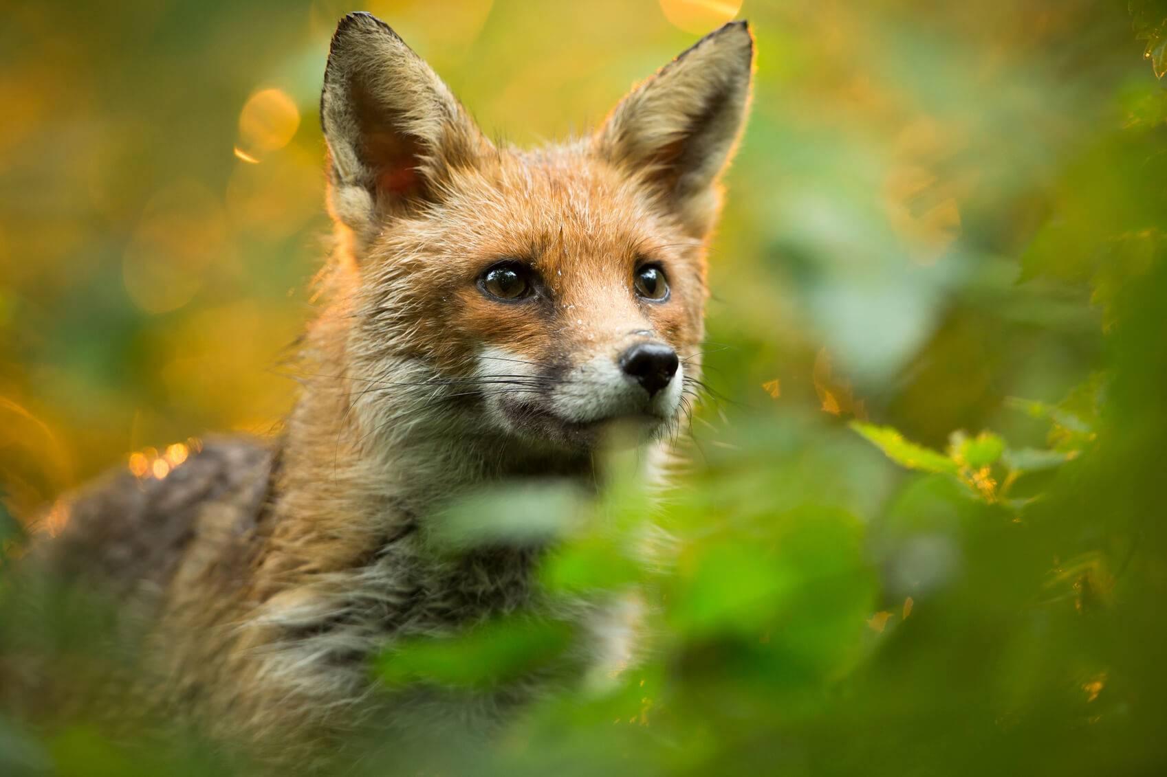 comment eviter les intrusions des renards des chats dans poulailler