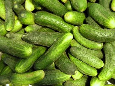 Concombre semer cultiver et r colter des concombres - Comment conserver des courgettes du jardin ...