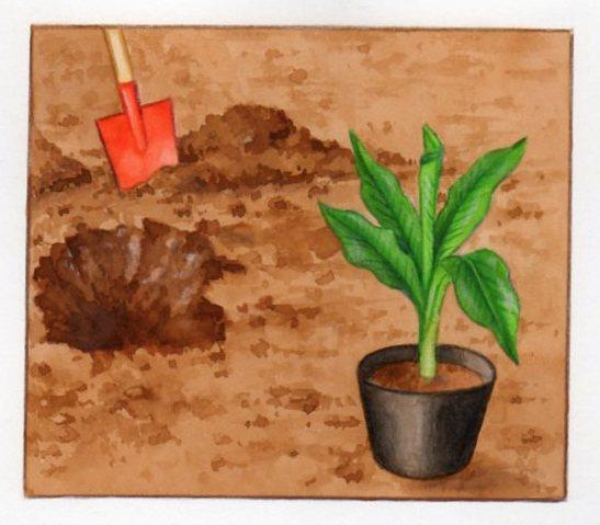 Planter et cultiver un bananier - Comment planter un bananier ...