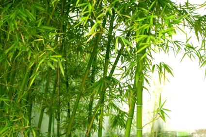 Cultiver le bambou - Replanter un bambou coupe ...