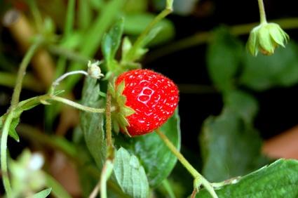 fraises planter cultiver r colter. Black Bedroom Furniture Sets. Home Design Ideas