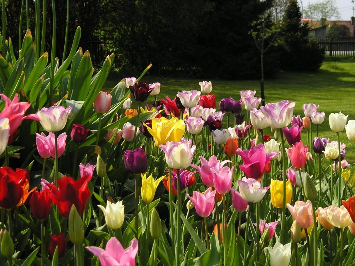Tulipe planter et cultiver des tulipes - Quand planter les bulbes de tulipes et jonquilles ...