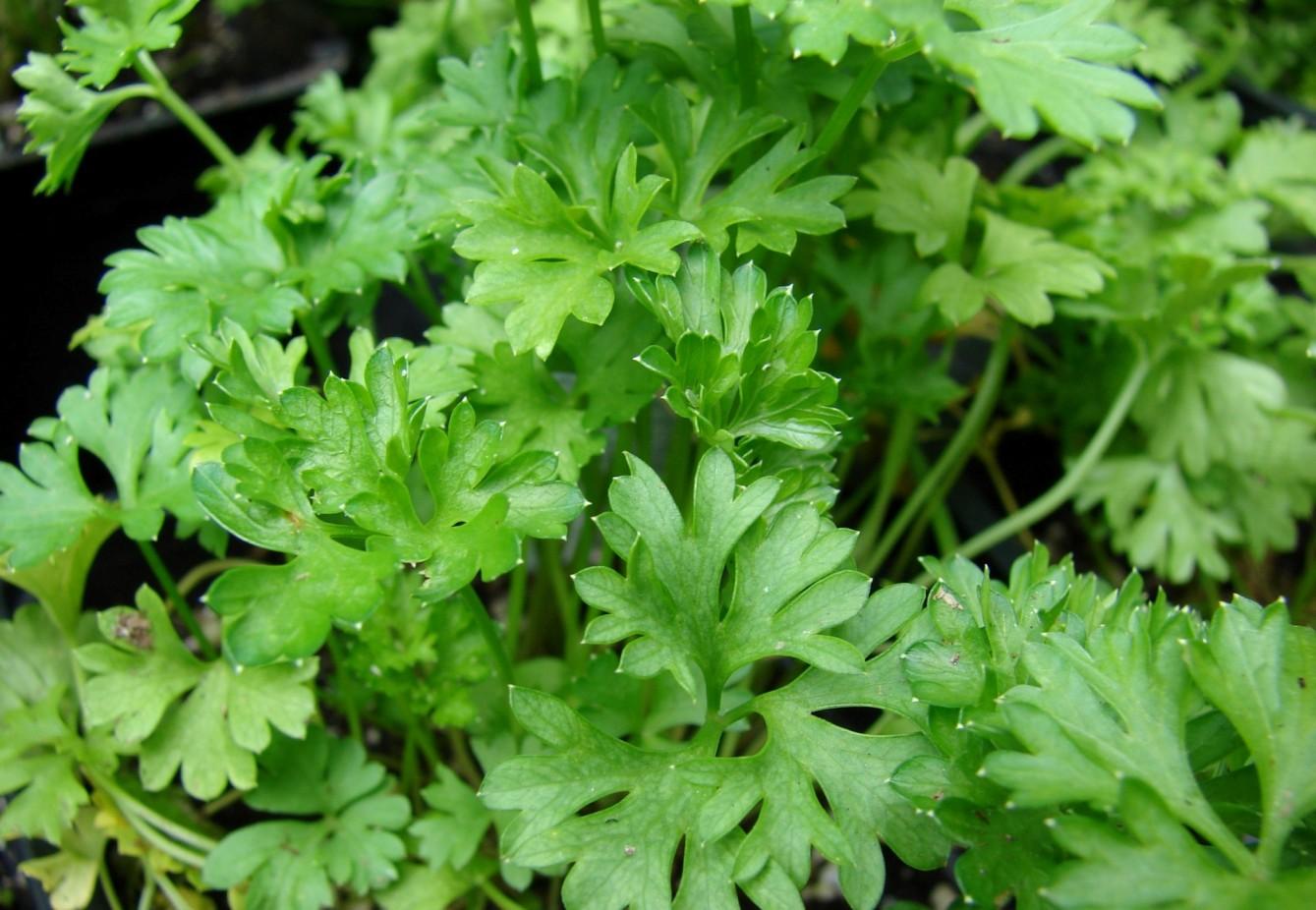 Les plantes condimentaires