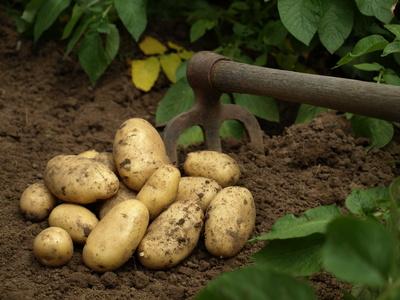 Pomme De Terre Planter Cultiver R Colter