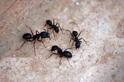 Comment se d barrasser des fourmis r pulsifs et m thodes - Se debarrasser des limaces maison ...