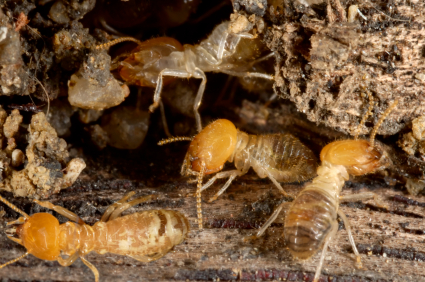 Se d barrasser des termites - Chasser les ondes negatives d une maison ...