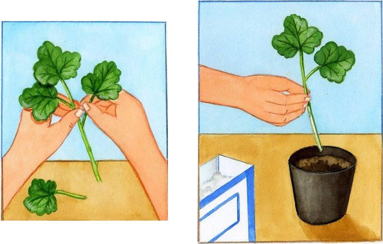 G ranium culture et plantation des g raniums - Quand planter les geraniums ...