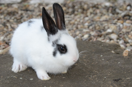 Elever un lapin nain - Comment couper les griffes d un lapin ...