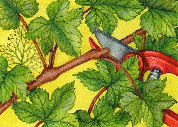 Vigne cultiver et entretenir sa vigne - Comment planter un pied de vigne video ...