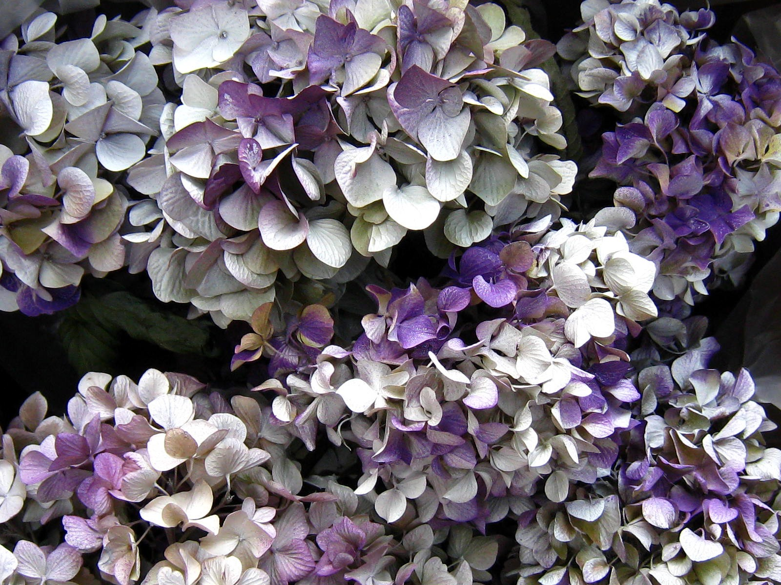 Fleurs s ch es faire s cher des fleurs - Quand couper la lavande pour la faire secher ...