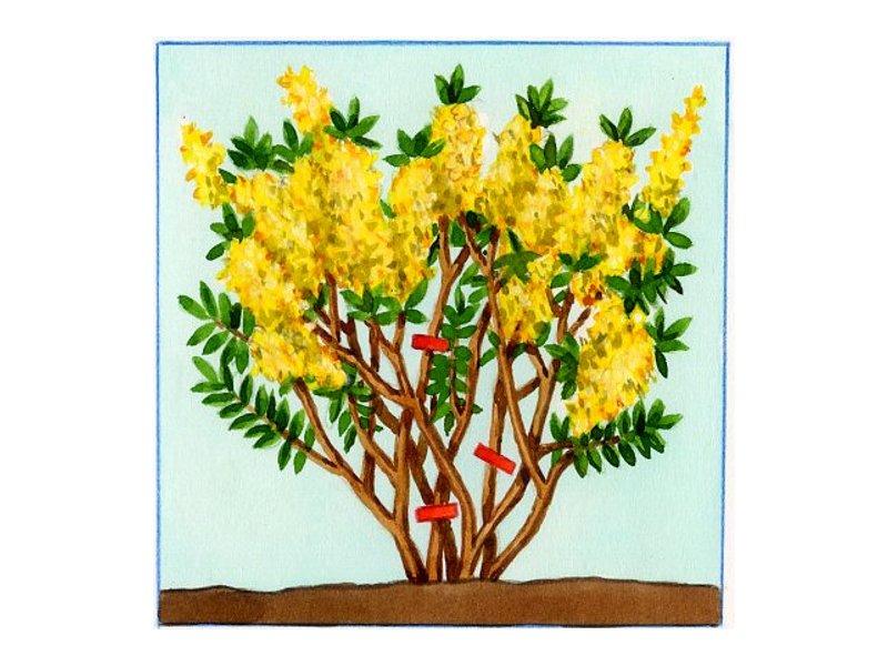 Taille des arbres arbustes et conif res - Quand tailler un forsythia ...