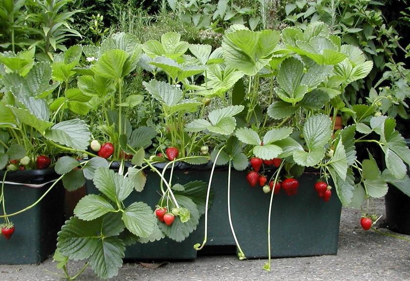 Fraises choisir planter et entretenir ses fraisiers - Planter fraisier en jardiniere ...
