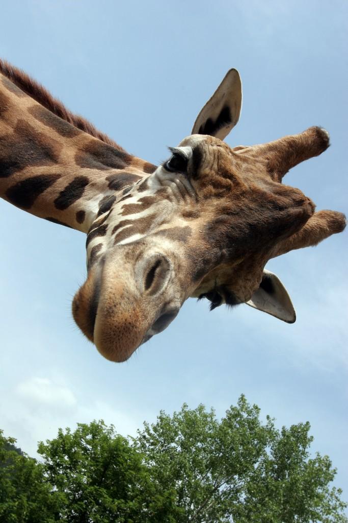 girafe-0-0.jpg
