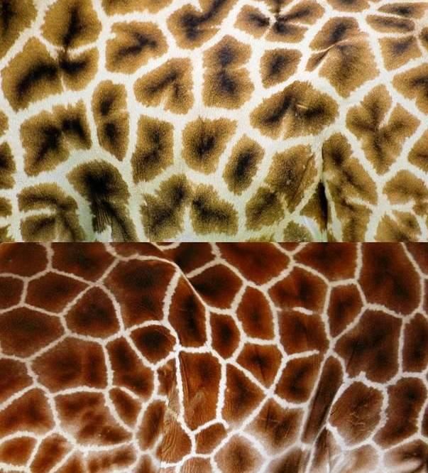 girafe mieux conna tre les girafes et leurs girafons dont le cou en fait le plus grand. Black Bedroom Furniture Sets. Home Design Ideas