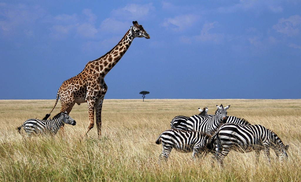 okapi et girafe tout savoir sur les girafes et les okapis. Black Bedroom Furniture Sets. Home Design Ideas