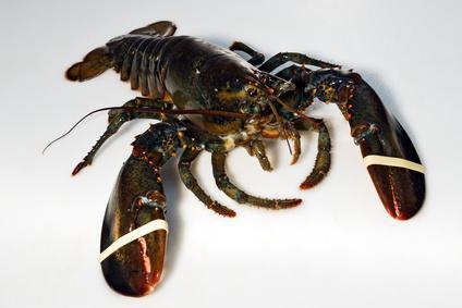 Homards les hommes et les homards - Comment cuisiner le homard cuit surgele ...