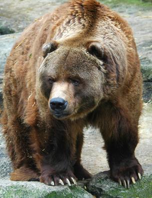 Ussuri Brown Bear Vs Grizzly Ours kodiak : le plus ...