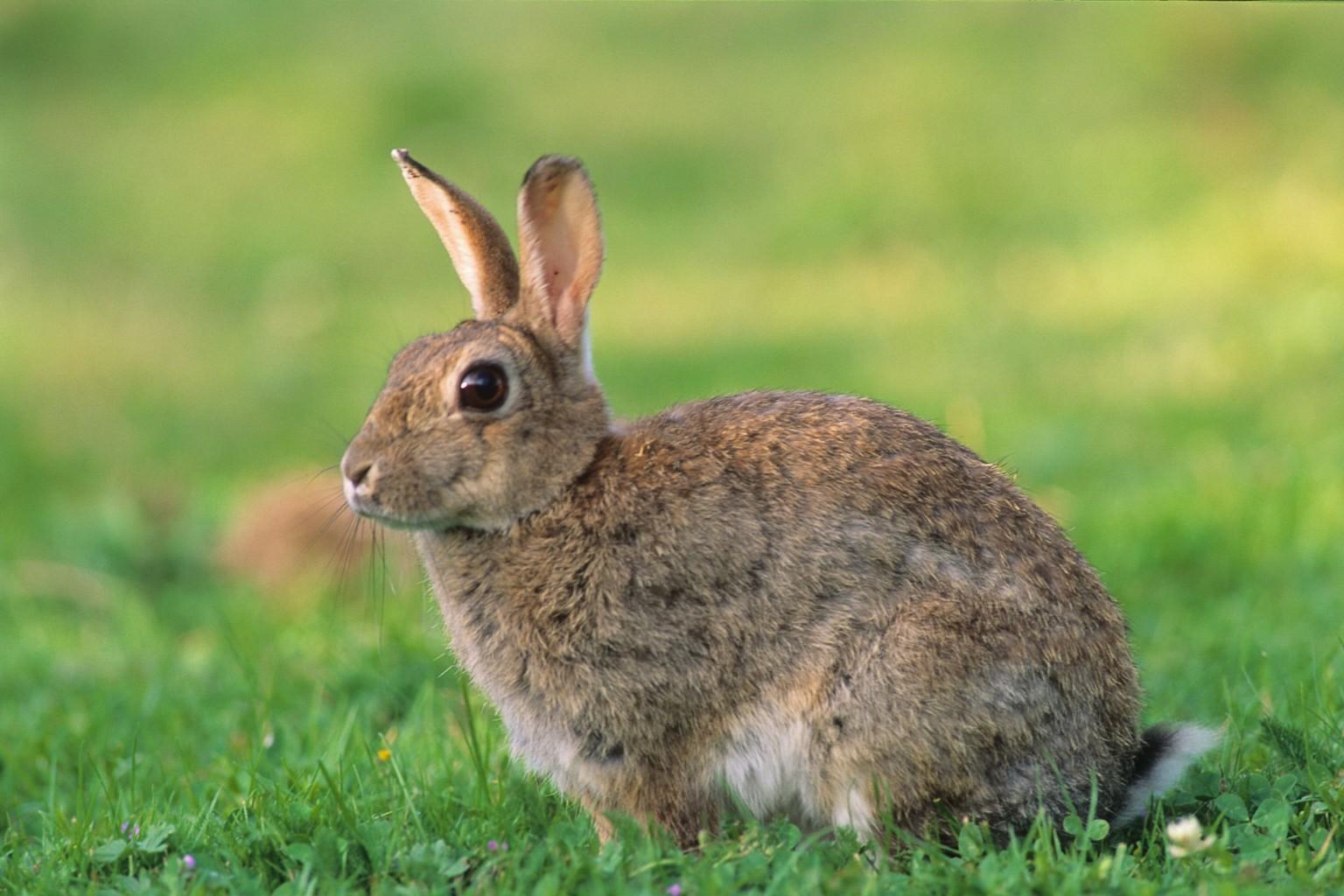 Li vres savoir reconna tre le li vre commun - Comment se debarrasser des lapins sauvages ...