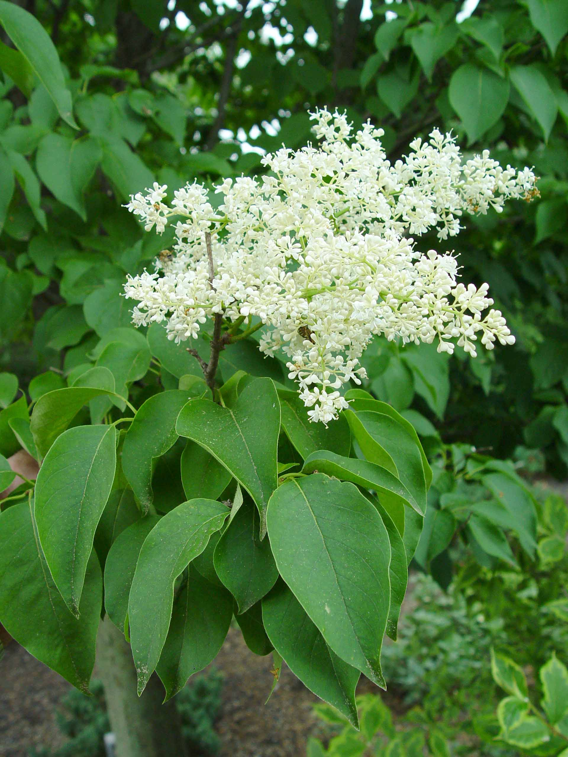 Lilacs Bush Lilas Les Diff 233 Rentes Vari 233 T 233 S De Lilas Pratique Fr