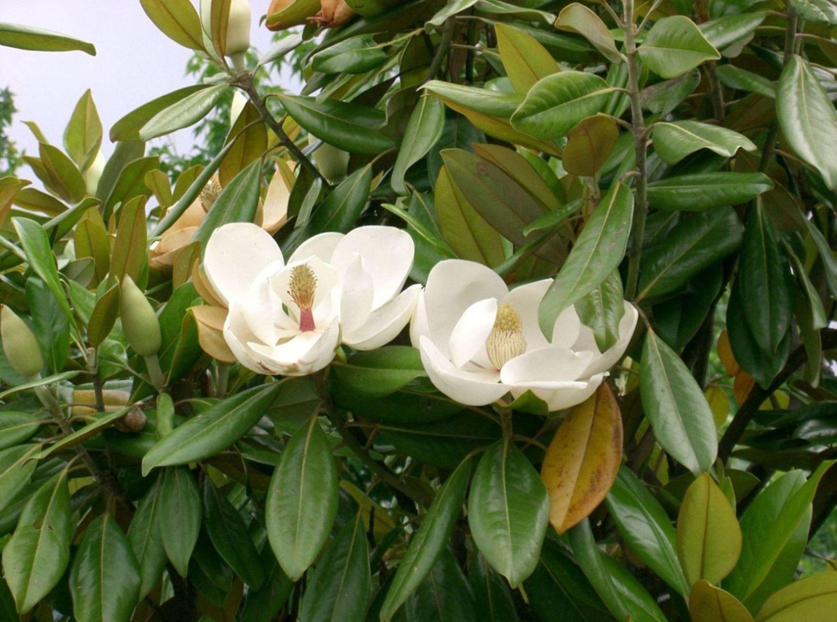 magnolias : planter et entretenir des magnolias | pratique.fr