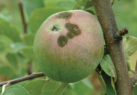 Maladies des arbres fruitiers - Reconnaitre les arbres par leur tronc ...