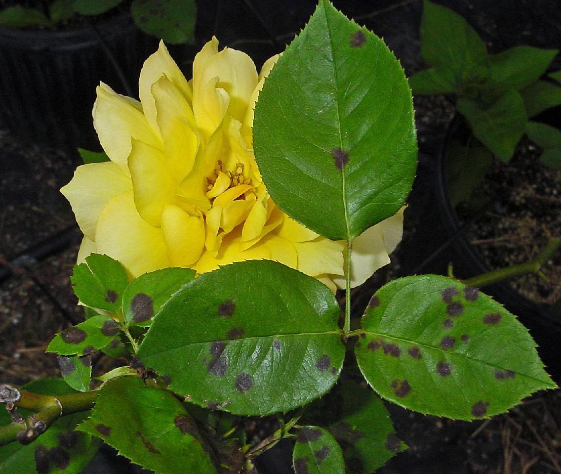 Reconna tre les maladies et ravageurs et mieux traiter les plantes - Feuilles de rosier qui jaunissent ...