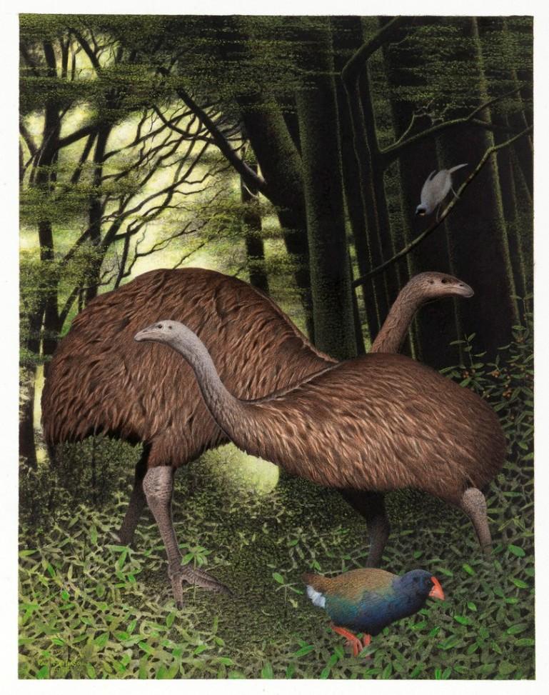 Autruches autruche g ante ratite dodo aepyornis et moa - Poids d une autruche ...