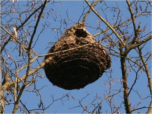 Frelon asiatique alerte au frelons asiatiques - Petit nid de frelon ...