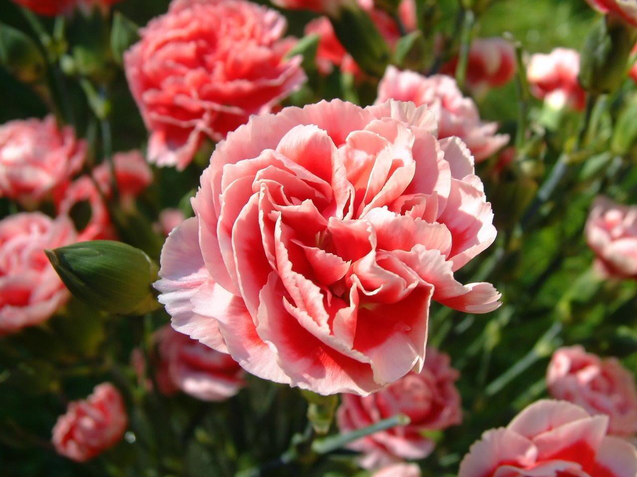 Oeillet semer planter cultiver des oeillets fleurs for Fleurs de nos jardins