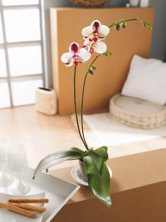 Serre orchid e - Orchidee entretien apres floraison ...