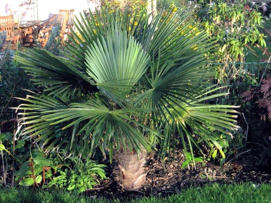 Palmier comment planter cultiver et entretenir des for Decoration jardin avec palmier