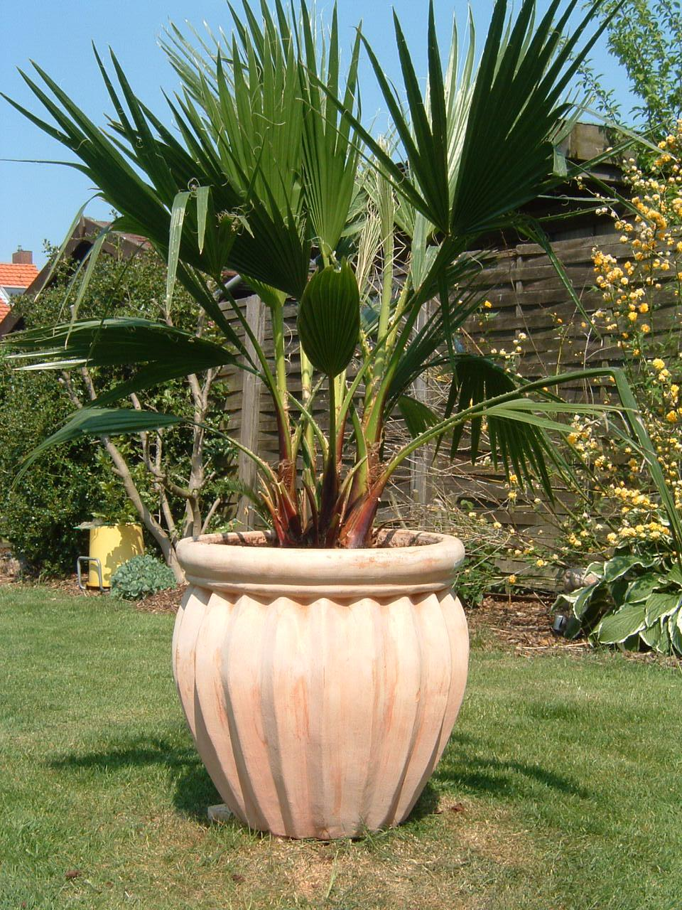 Palmier comment planter cultiver et entretenir des for Comment planter un palmier en pot