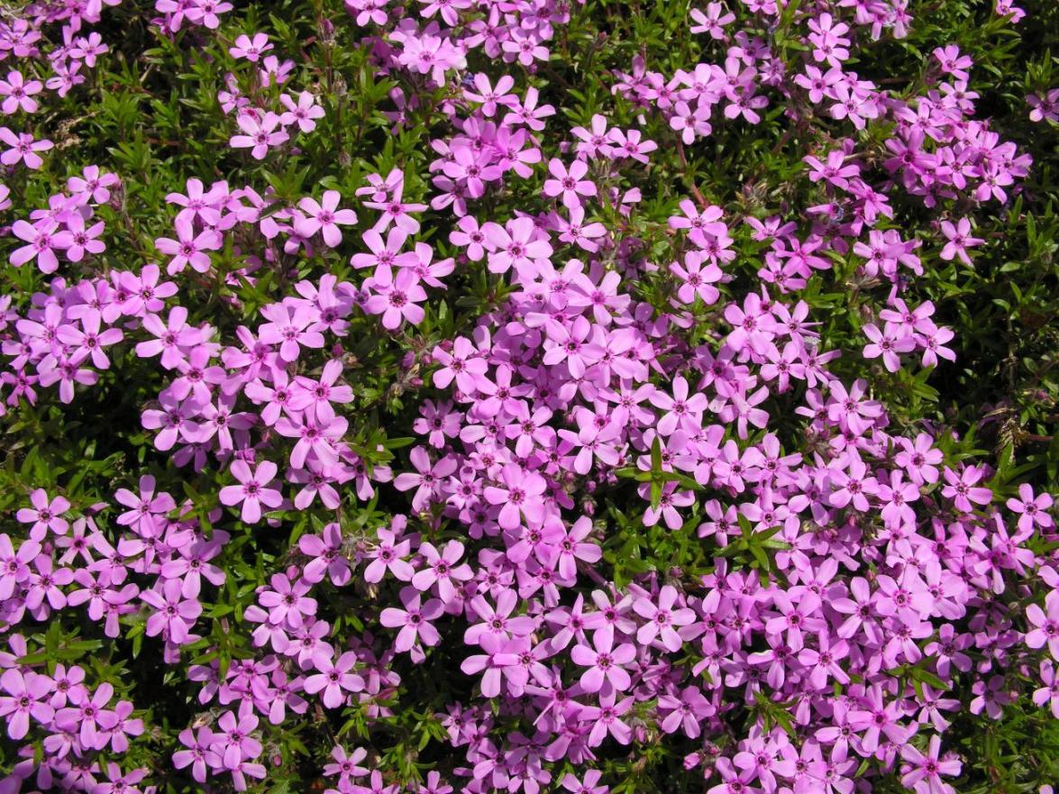 Vivaces sol argileux quelles plantes installer selon la nature du sol les vivaces conomes en - Phlox vivace couvre sol ...