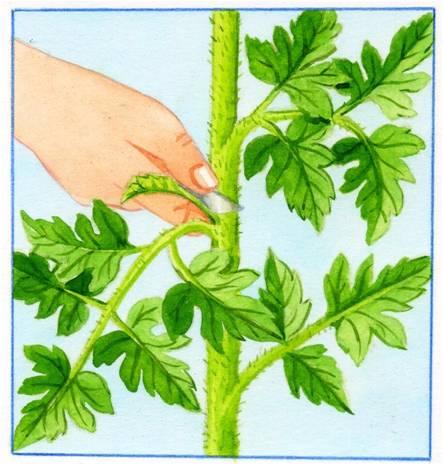 R ussir sa culture de tomates - Entretien pieds de tomates ...