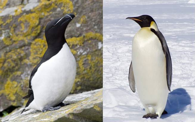 pingouin tout savoir sur le pingouin torda. Black Bedroom Furniture Sets. Home Design Ideas