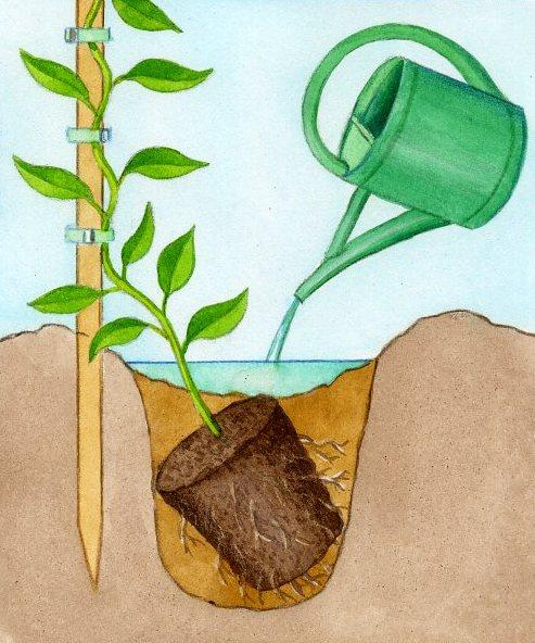 Glycine cl matite lierre grimpant planter des plantes grimpantes - Plante retombante feuillage persistant ...