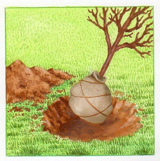 Planter un arbre nos conseils pour planter un arbre - Plantation arbre en motte ...