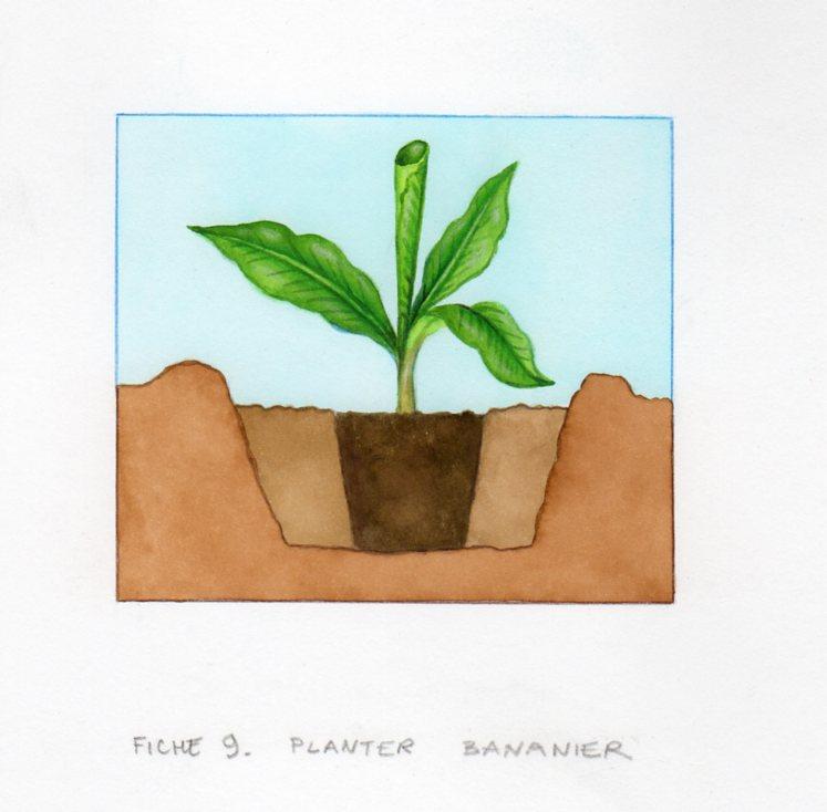 Planter et cultiver un bananier - Bananier en pot ...