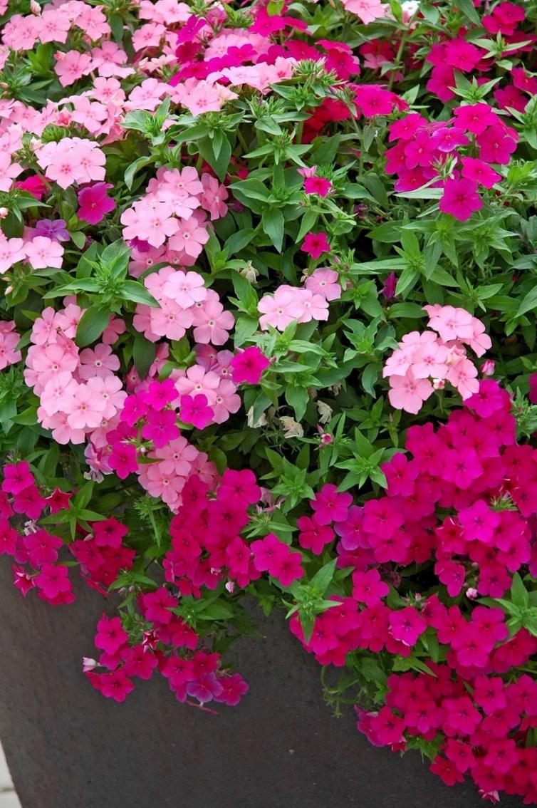 Phlox Drummondii Phlox : plantation, cu...