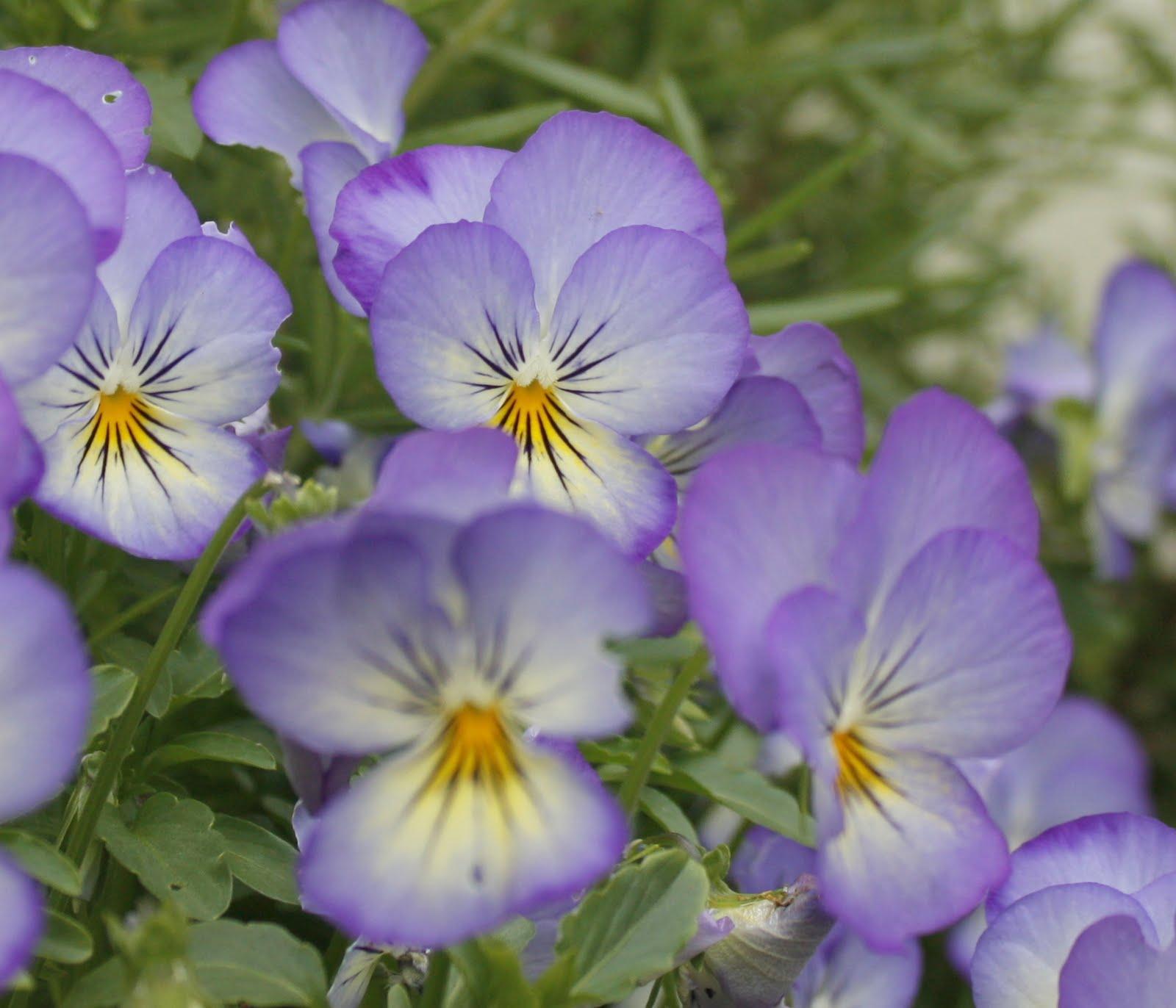 Planter des pens es - Pensee fleur vivace ou annuelle ...