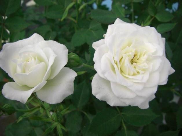 plantation et entretien des rosiers pratique fr