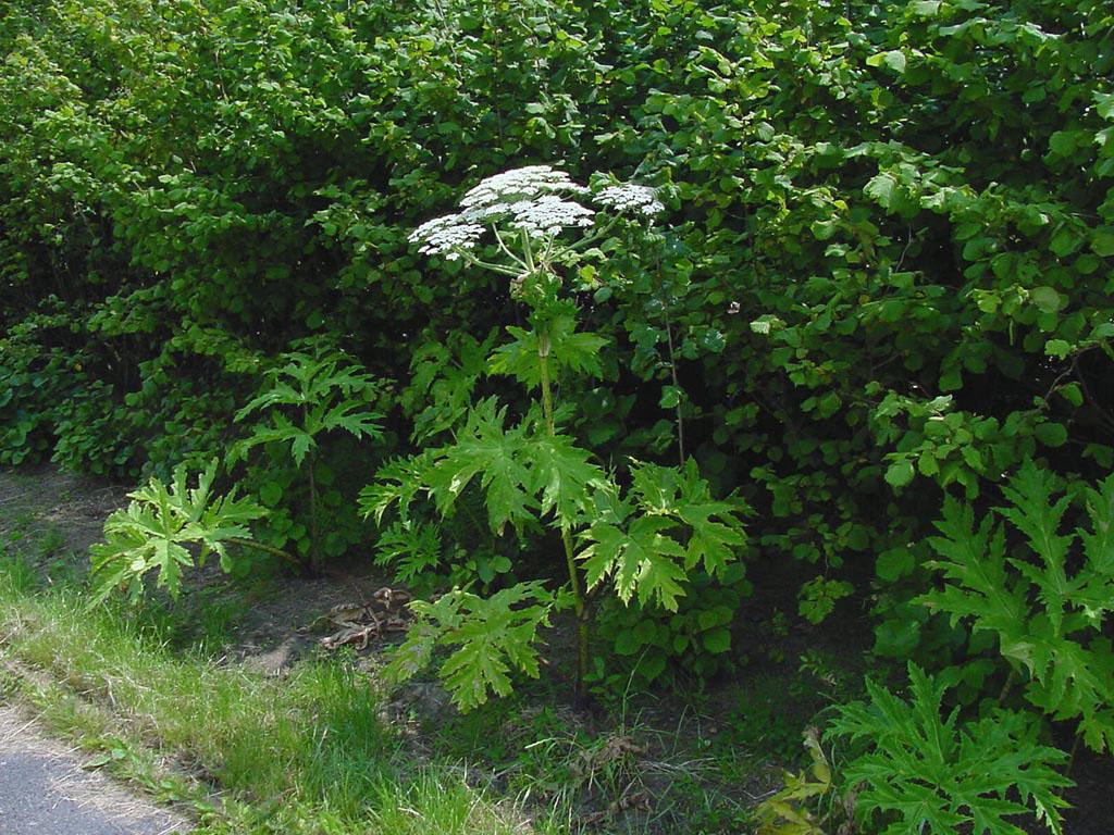 Plantes allergisantes les reconna tre for Plante urticante