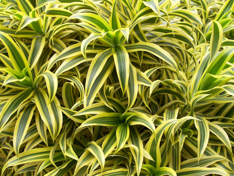 Plante d polluante 10 plantes d polluantes pour votre for Les plantes interieur