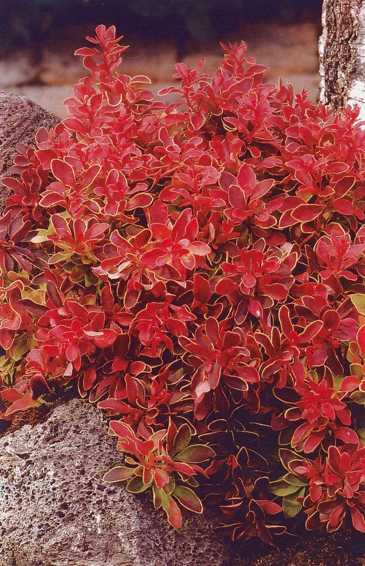 Plantes feuillage color vivaces for Plante exterieur a fleur rouge