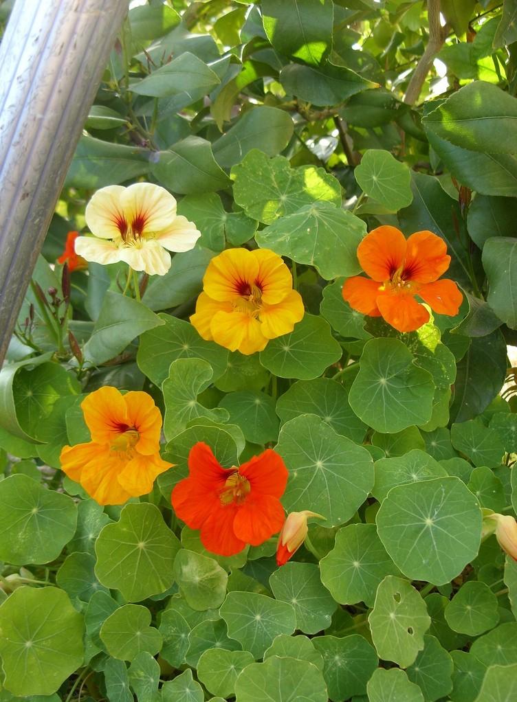 Glycine cl matite lierre grimpant planter des plantes grimpantes pratiq - Vigne vierge feuillage persistant ...