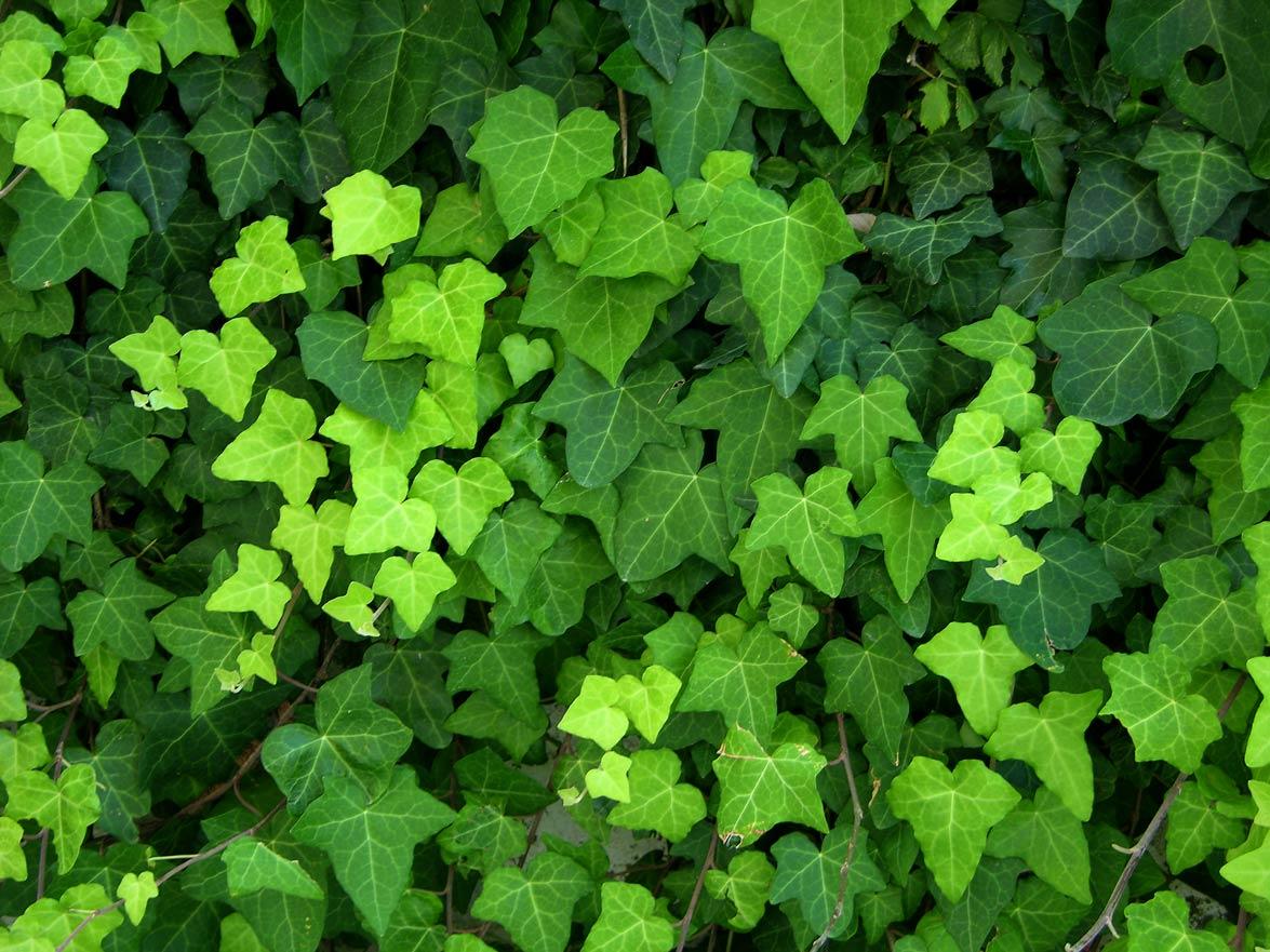 Glycine cl matite lierre grimpant planter des plantes for Plante grimpante ombre feuillage persistant