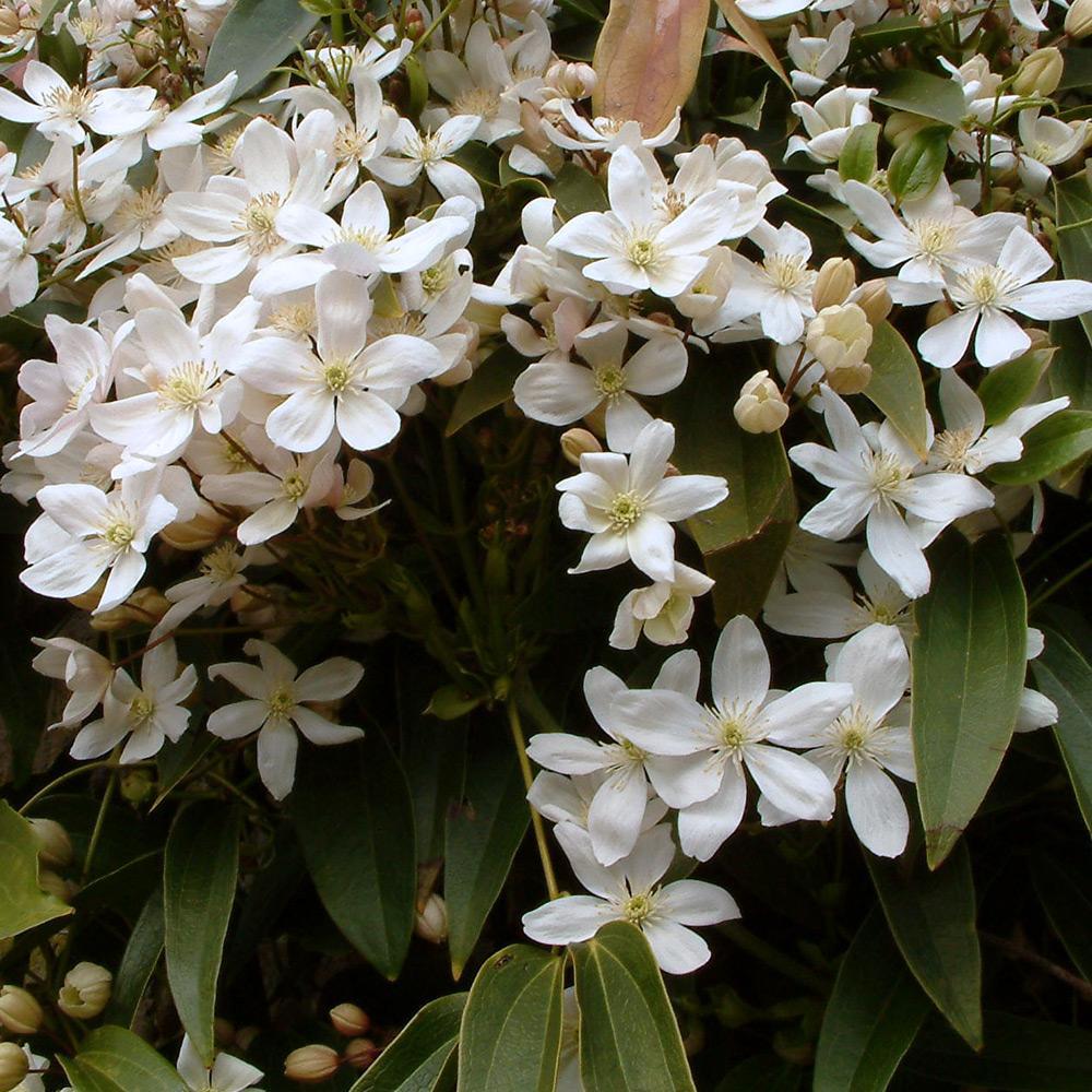 plante grimpante tres odorante