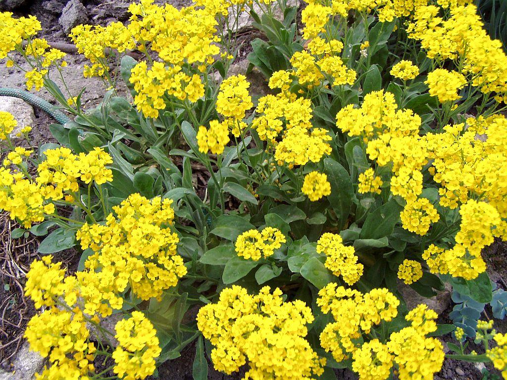 Delightful Fleurs De Rocaille Vivace #2: Alysse (Alyssum Saxatile)